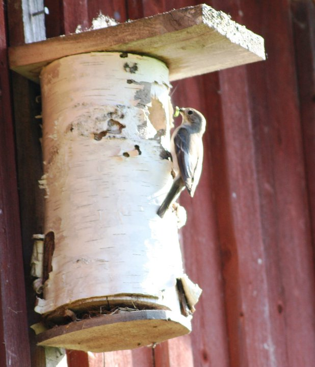 juni 2 fågel matar